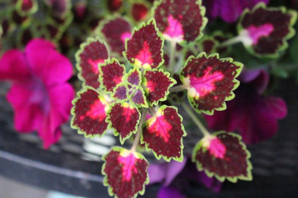 #179 Coleus, Plectranthus scutellarioides