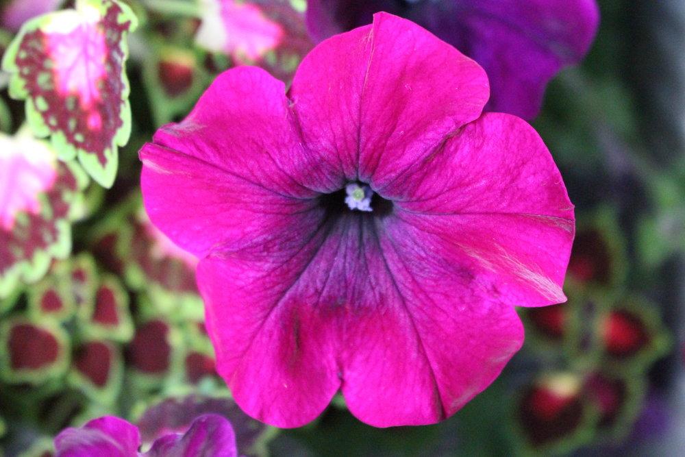 #180 Petunia, Solanaceae