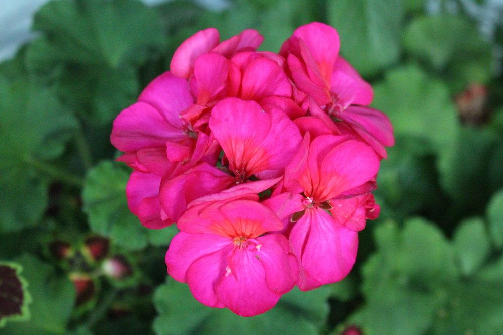 #181 Begonia,  Begoniaceae