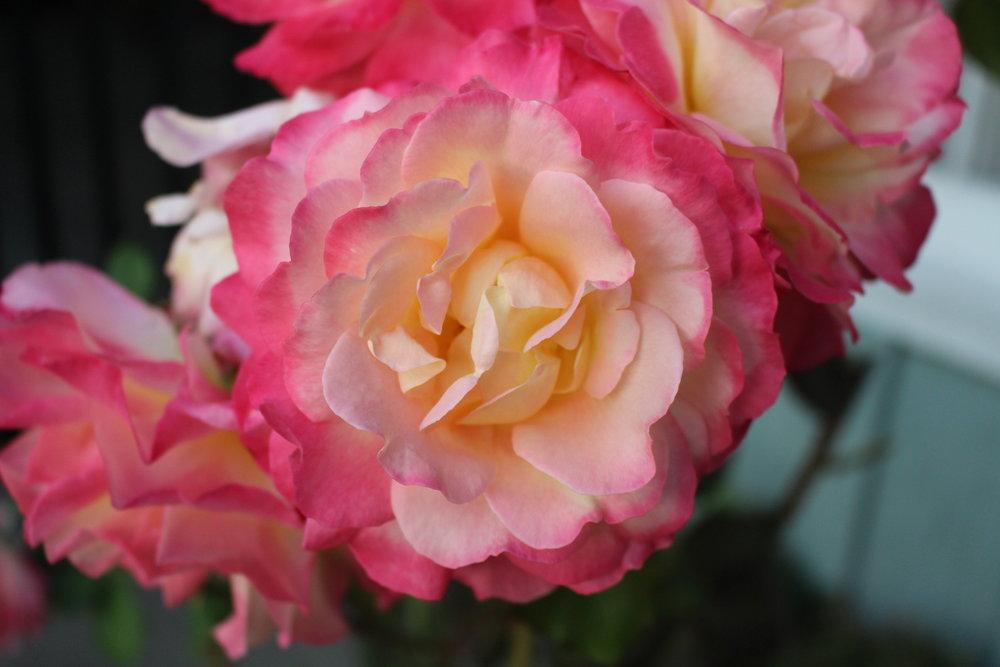 #182 Rose,  Sunrise
