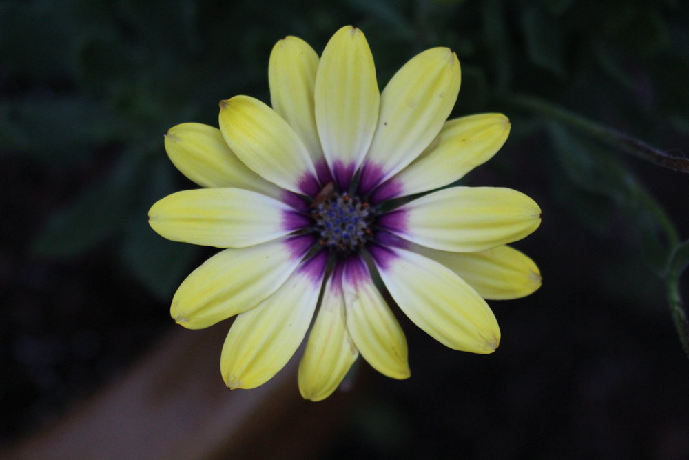 #183 Daisy, Osteospermum
