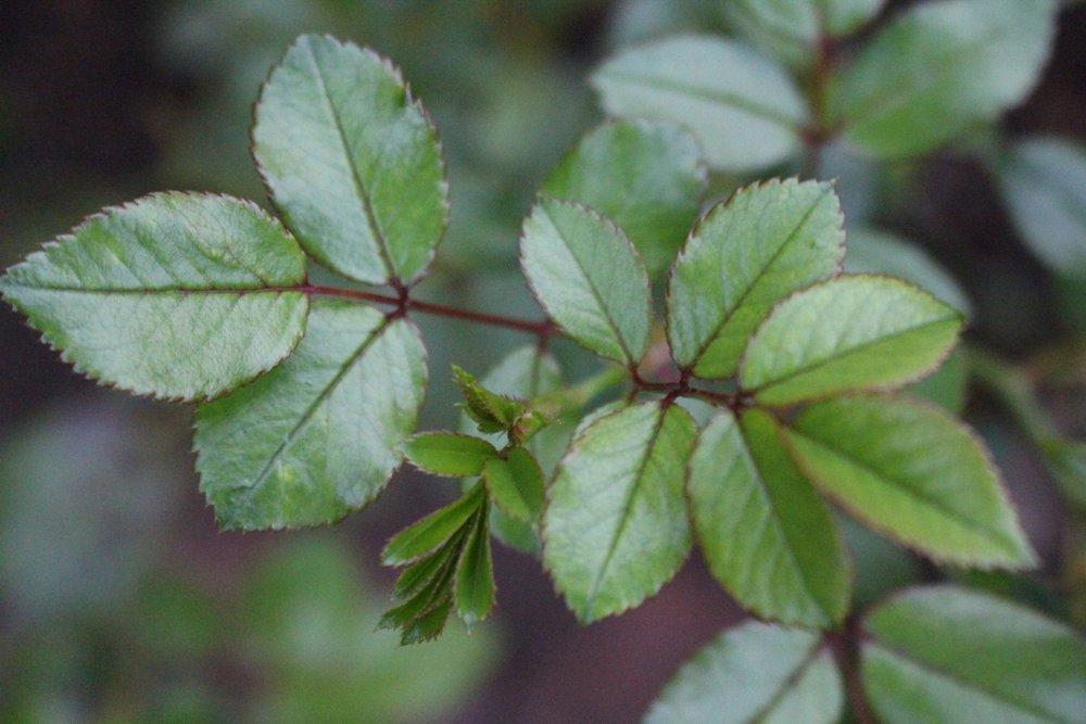 #186 Rose leaves,  Rosa
