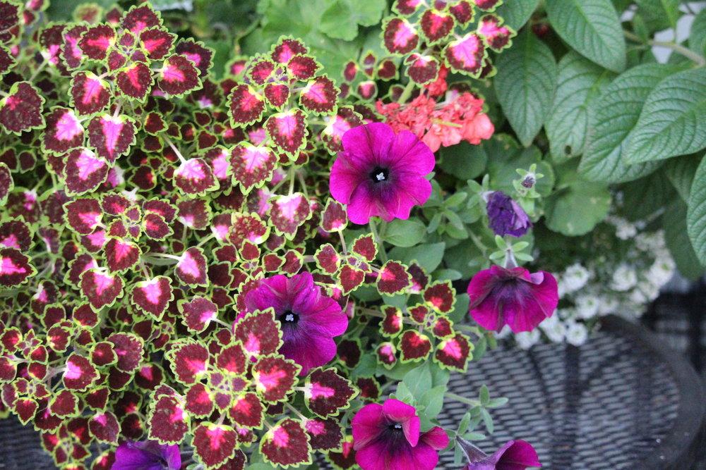 #188 Coleus, Plectranthus scutellarioides & Petunia, Solanaceae