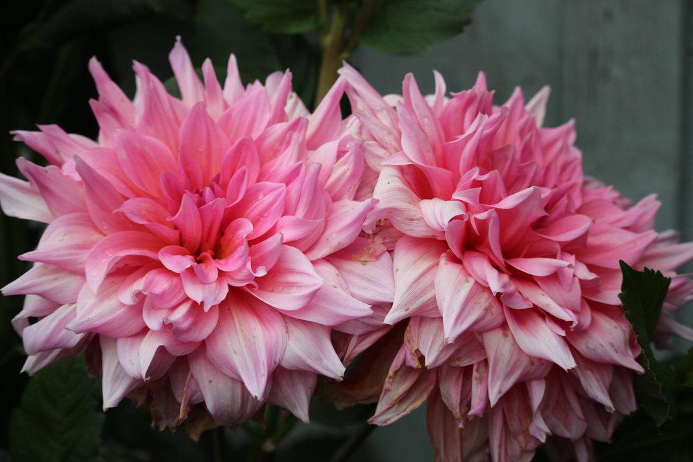 #190 Dahlia, Asteraceae