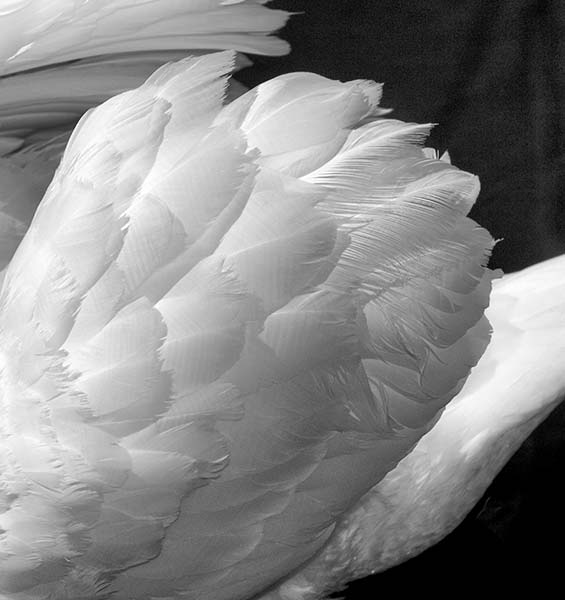 Swan Wing, Miami, 2010.