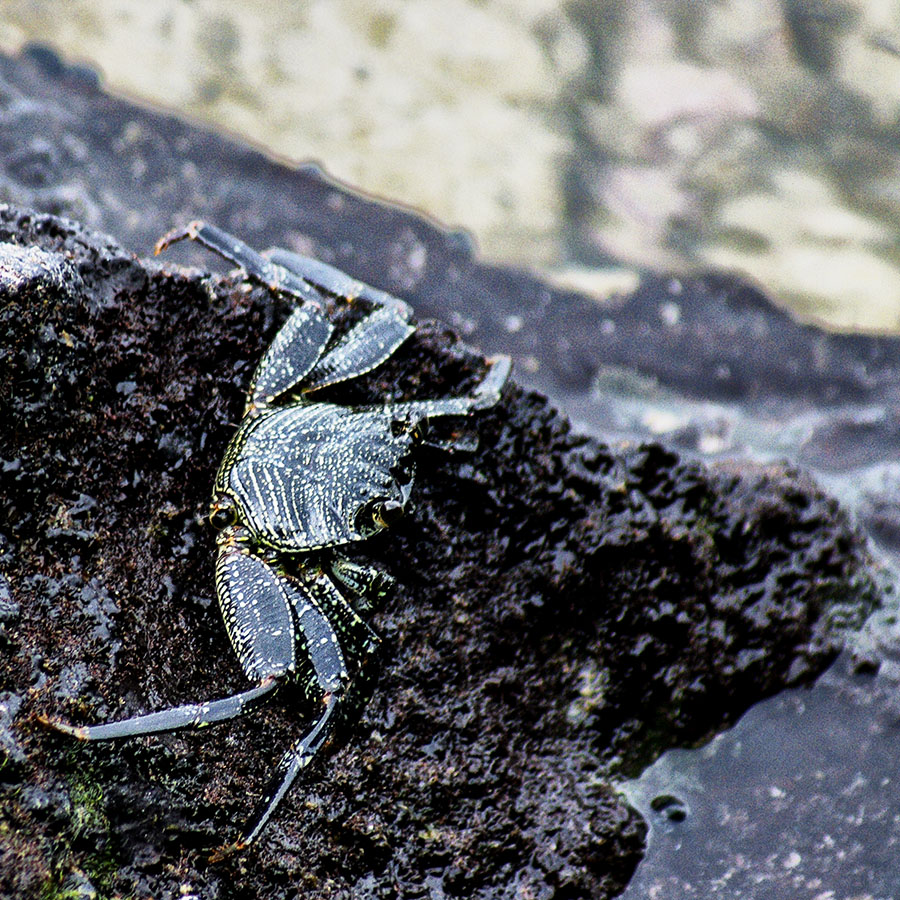 Crab, Hawaii, 2009
