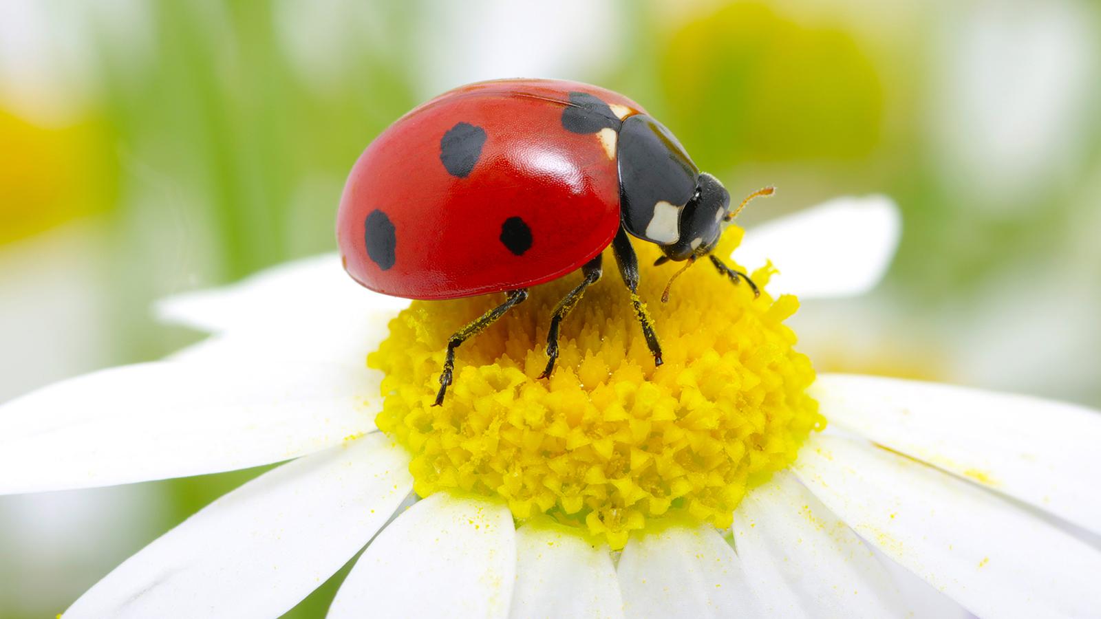 ladybug-daisy