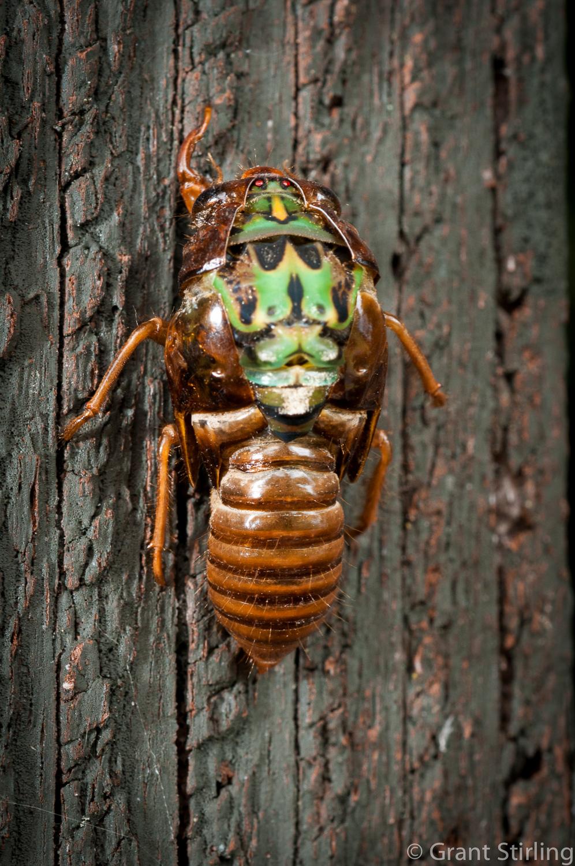 Cicada hatching-1249.jpg