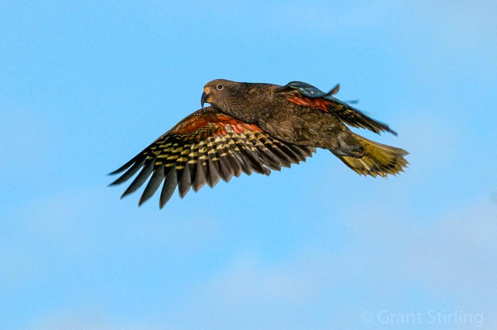 Kaka in flight 2626.jpg