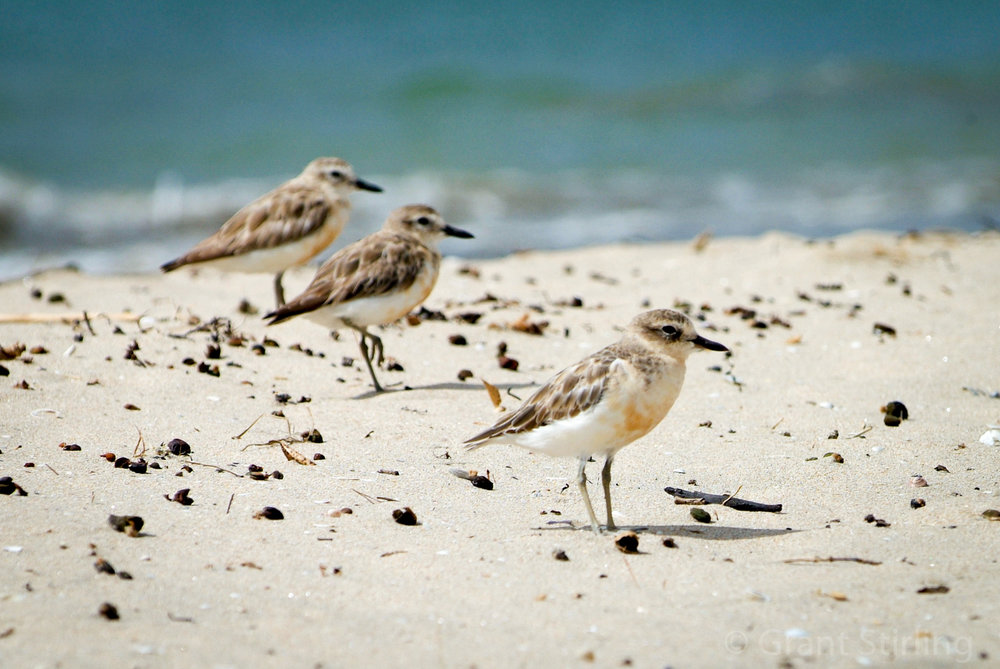 NZ Dotterel-2424.jpg