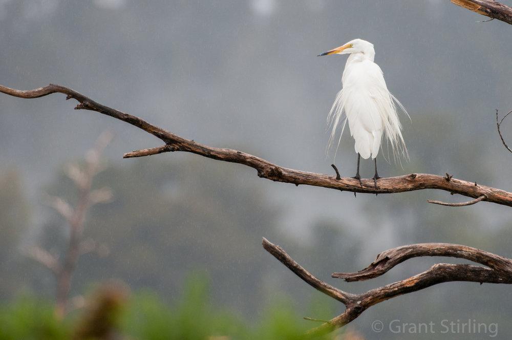 White Heron-2896.jpg