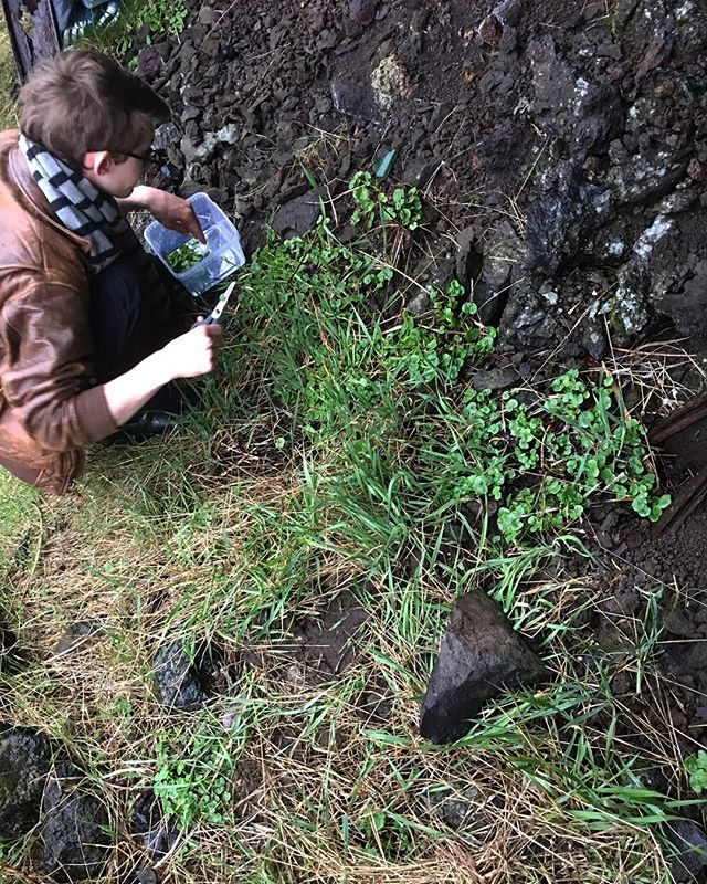 Foraging tiny sorrels today - weather has not been in our favour last few weeks! #soontobebigger #slippurinn #vestmannaeyjar