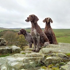 Dora (centre) on Hadrians Wall after her Scottish Field Trial