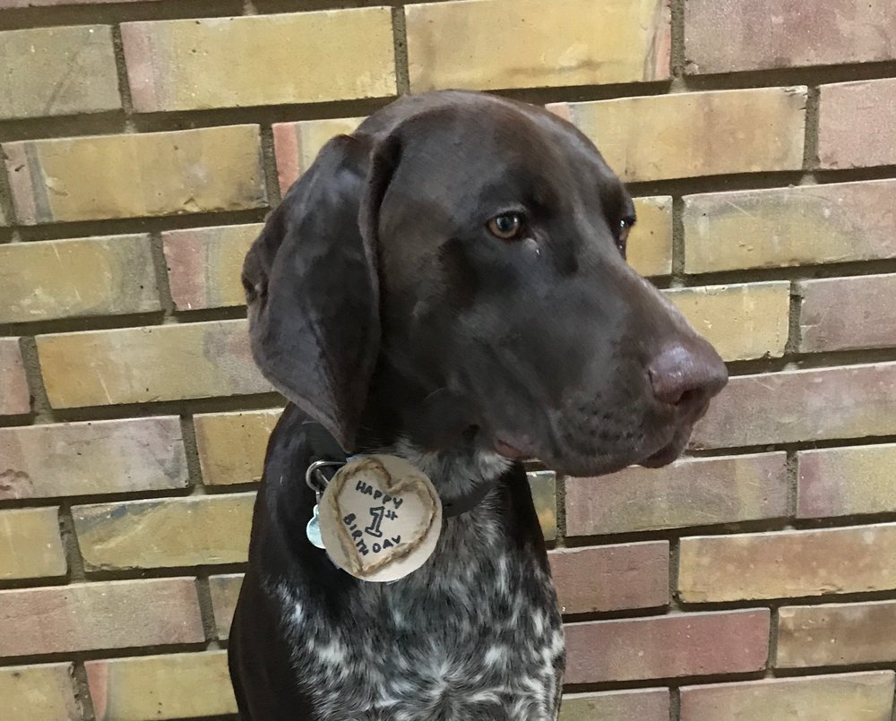 "Karats litter brother ""Doc"" unimpressed with the badge Becky made him"
