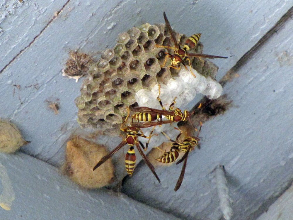 Remove Wasps and Mud Dauber Nests - Spraying alone won't prevent new pests from reestablishing a home in an existing nest.Every service we will remove nests built by wasps and mud daubers.