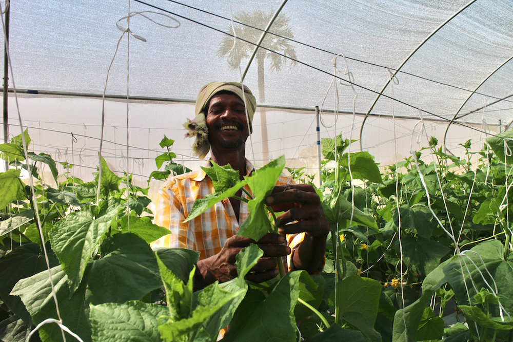 A farmer harvests cucumbers in a Kheyti greenhouse. All images by Janice Cantieri, all rights reserved.