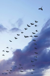 flock of migrating canada geese birds flying at sunset, vertical frame