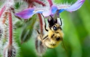 honey bee and purple flower