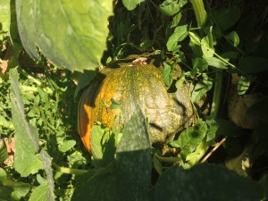 PumpkinRipening