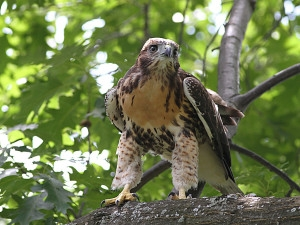 red_tail_fledgling