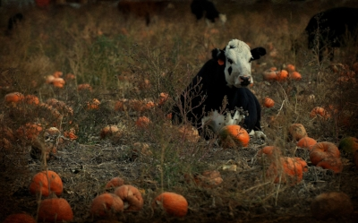 cows and pumpkins.jpg
