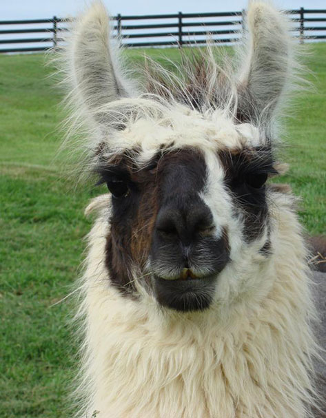 Llucky-Llama.jpg