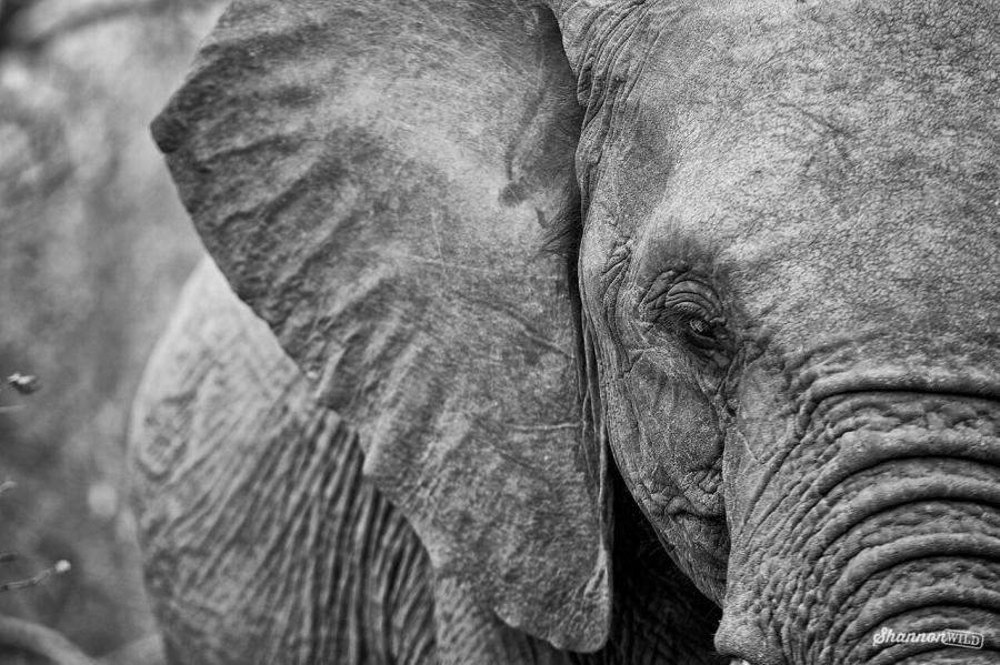 Shannon Benson-Elephant WildAid1.jpg