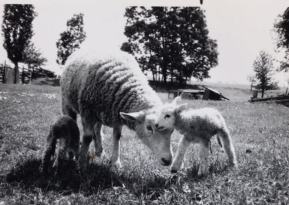 Sheep - IMG_6DE59488297D-1.jpeg