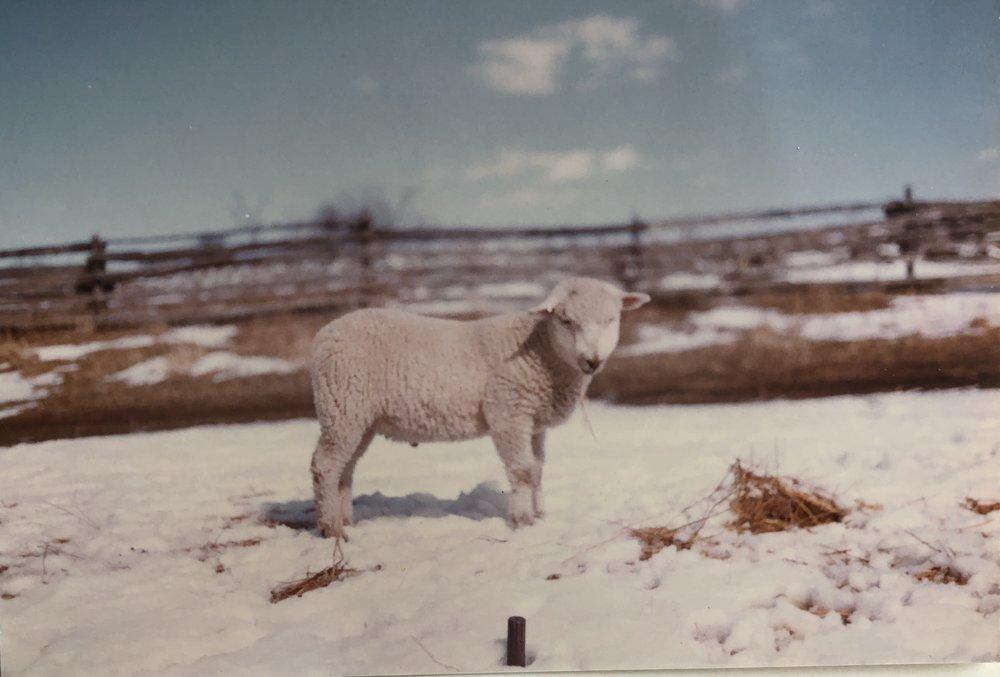Sheep - IMG_1855.JPG