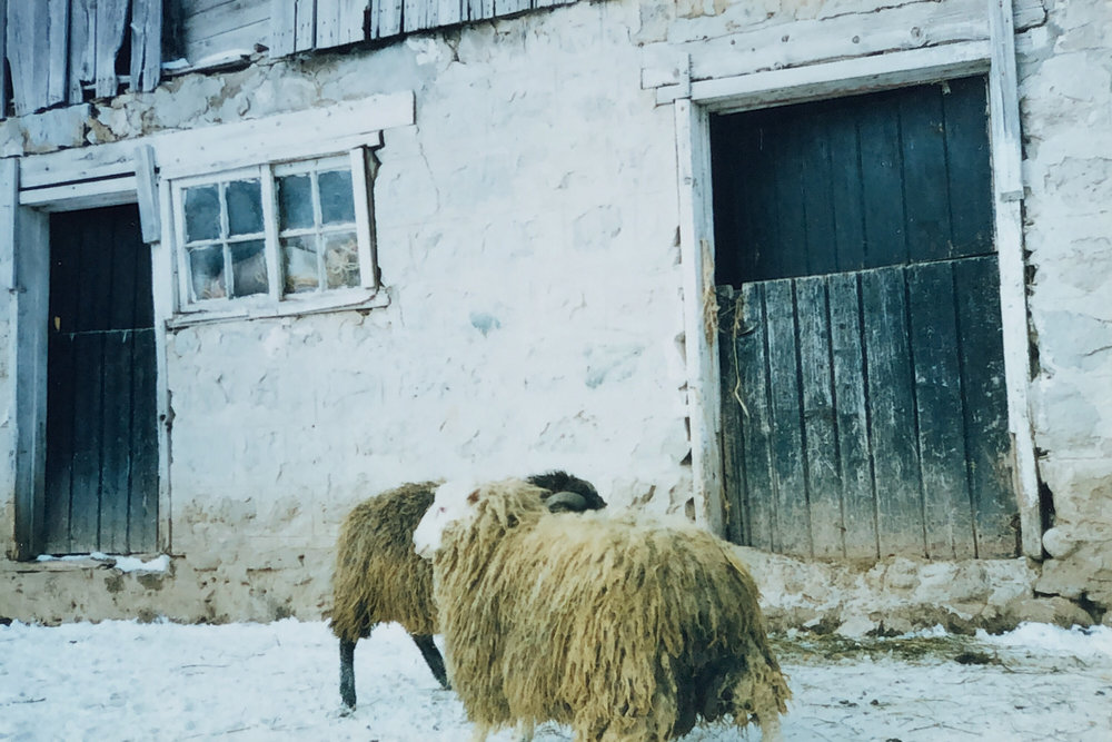 Sheep IMG_2981B3A763E3-1.jpeg