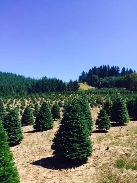 Tree Farm.jpeg - Misty Ridge Tree Farm €� Oregon Christmas Tree Growers Association