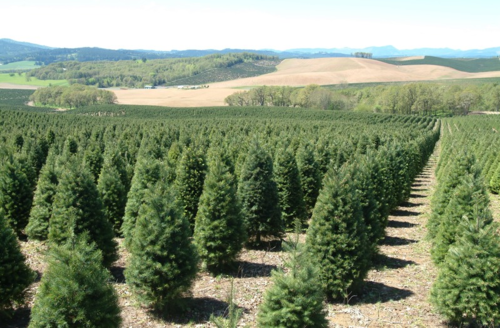 Screen Shot 2017-04-07 at 3.22.04 PM.png - Our Growers €� Oregon Christmas Tree Growers Association