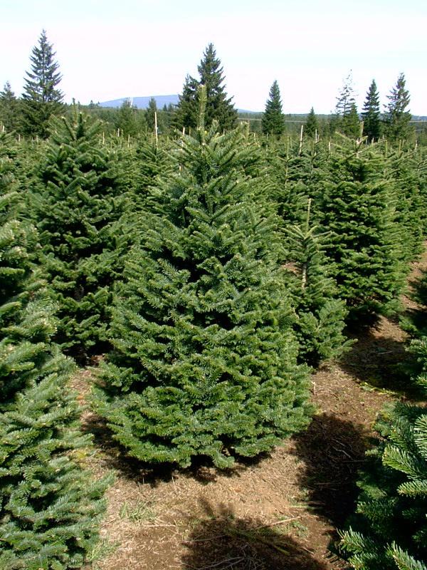 Oregon Christmas Tree Growers Association
