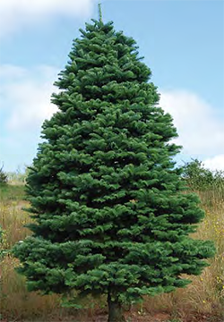 Noble Fir - Often referred to as the Cadillac of Christmas trees. The needles turn upward and vary in color from dark green to bluish green. This tree is known to have exceptional needle retention. The heavier branches extend outward providing good support for heavy ornaments. The branches are often used to make wreaths.