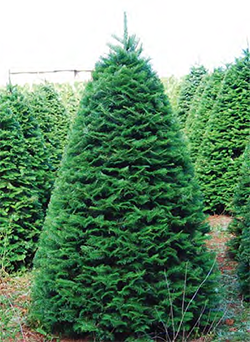 Grand Fir - The most fragrant of all Christmas trees, the needles have a glossy, dark green color,and they are flat along the branch.  Needle retention is similar to the Douglas-fir. Grand fir is usually priced between a Douglas-fir and Noble fir.