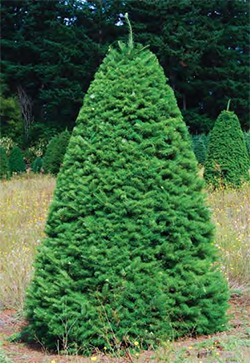 Doug Fir - Bright green needles which are about 1 inch in length. These dense trees are one of the most popular Christmas trees because of their fragrance, uniform shape, and lower price.