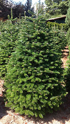 Nordman & Turkish Fir - Has good stiff branches to hold ornaments similar to Noble fir.  Color can range from very dark green to a lime.  Needles are about one inch long and can be glossy in appearance.  Good ability to stay fresh over a long period.
