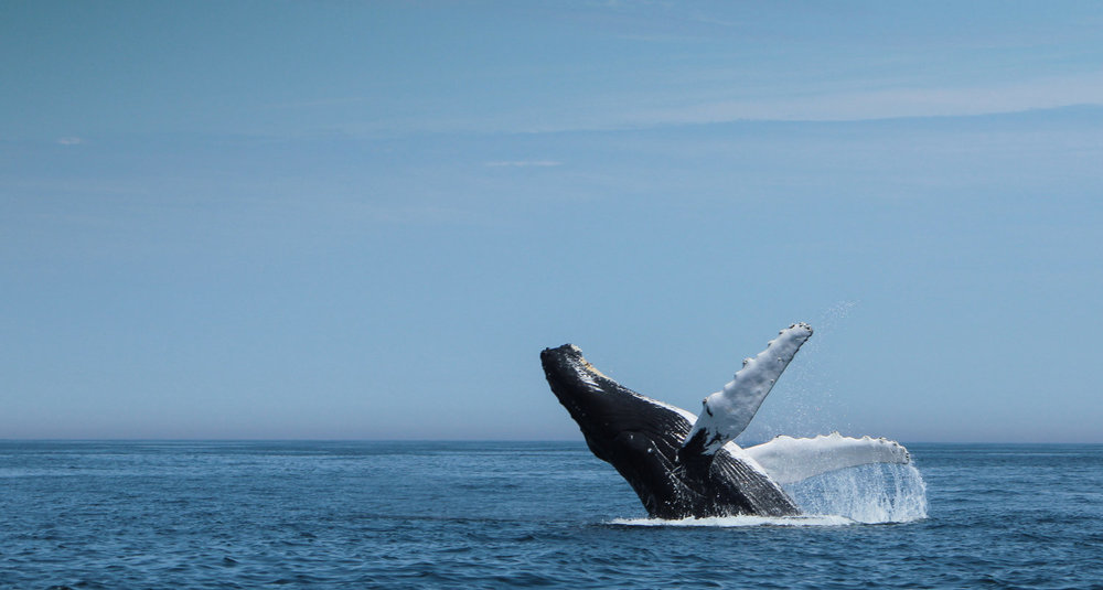 Humpback Whale - BlueWater Entertainment