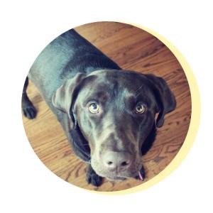 Theo, Chocolate Lab Office Dog