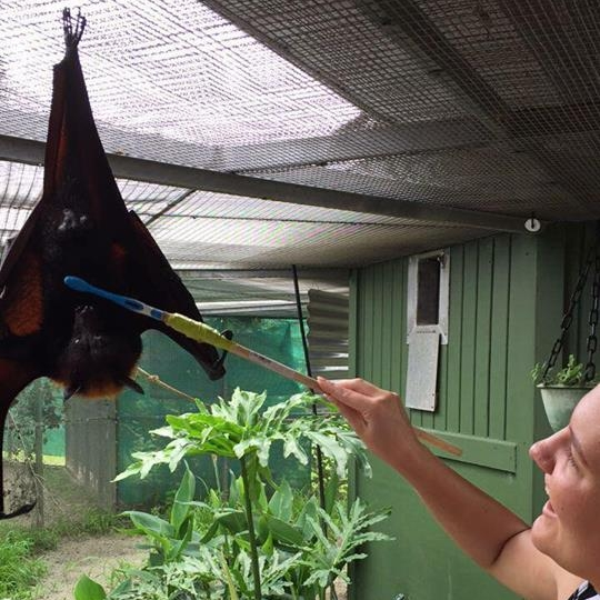 Brushing a flying fox at Lubee in Florida.
