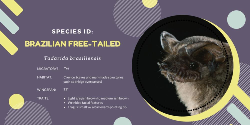 Brazilian Free-tailed