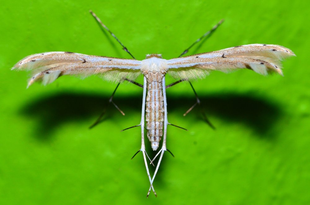 Pterophoridae sp_9 July 2015_Kinabalu Mountain Lodge.jpg