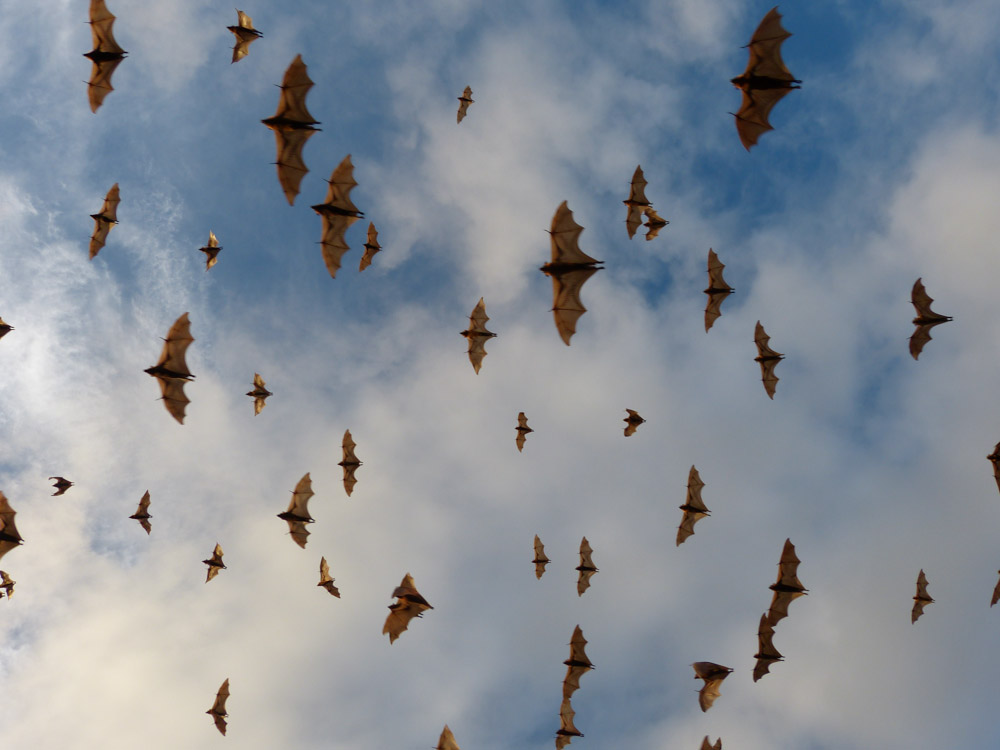 Gray Headed Flying Foxes in huge colony along the river in the town of Inverell NSW. Mar 23 2013