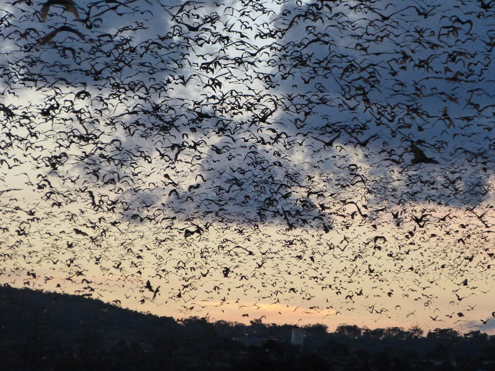 Colony of flying foxes heading out for the night.