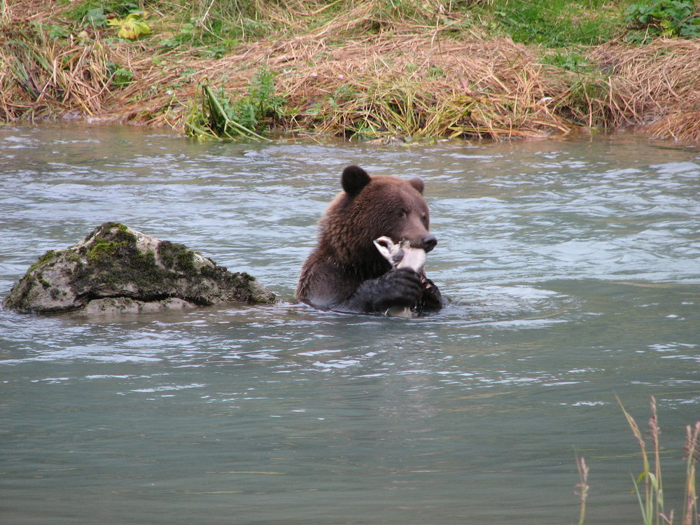Brown bear feasting on salmon Chilkoot River near Haines, Alaska