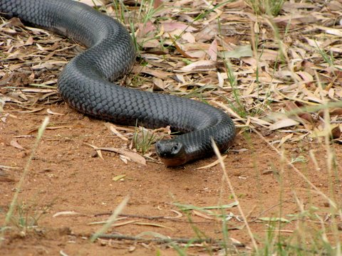 Red bellied black snake visiting my campsite--highly venomous but shy