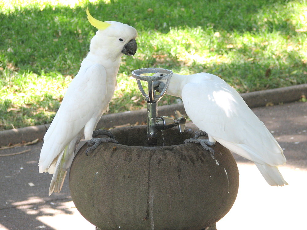 Thirsty cockatoos in Canberra, the national capitol of Australia