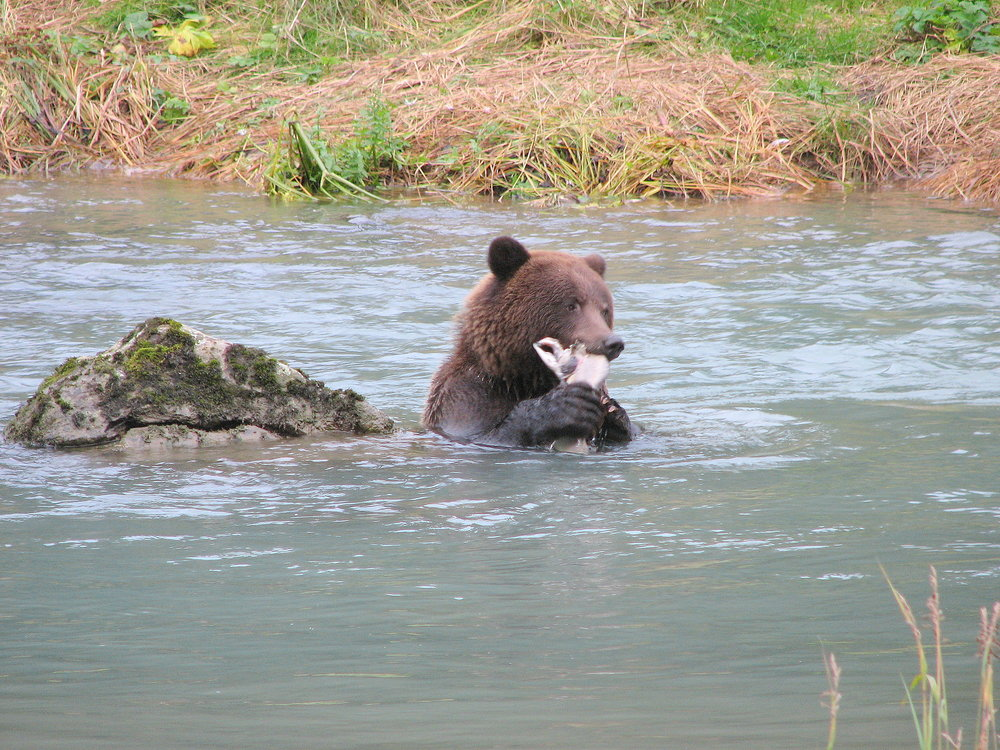 A brown bear enjoying a meal of fresh salmon.