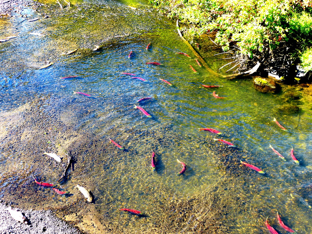 On the spawning ground, a pair of sockeye salmon in the center of a large circular nest or redd.
