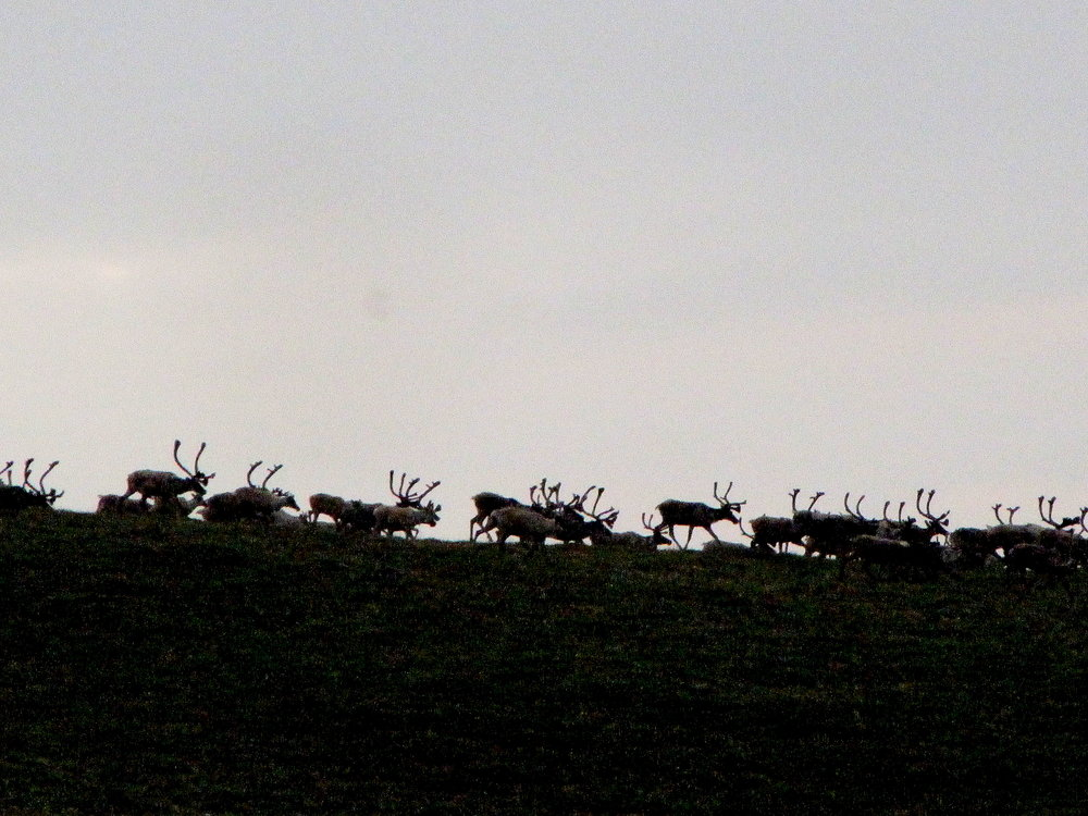 Migrating caribou on a mountain ridge in Alaska's western arctic.
